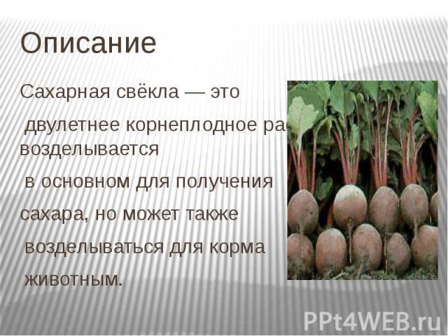 Описание Сахарная свёкла— это двулетнее корнеплодное растение, возделывается в основном для получения сахара, но может также возделываться для корма животным.