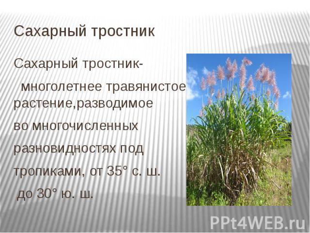Сахарный тростник Сахарный тростник- многолетнее травянистое растение,разводимое во многочисленных разновидностях под тропиками, от 35° с. ш. до 30° ю. ш.