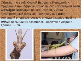 Богомолы, живущие на юге России, имеют отличительный признак – голова у них имее