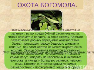 ОХОТА БОГОМОЛА. Этот маленький хищник обычно затаивается на зеленых листах среди