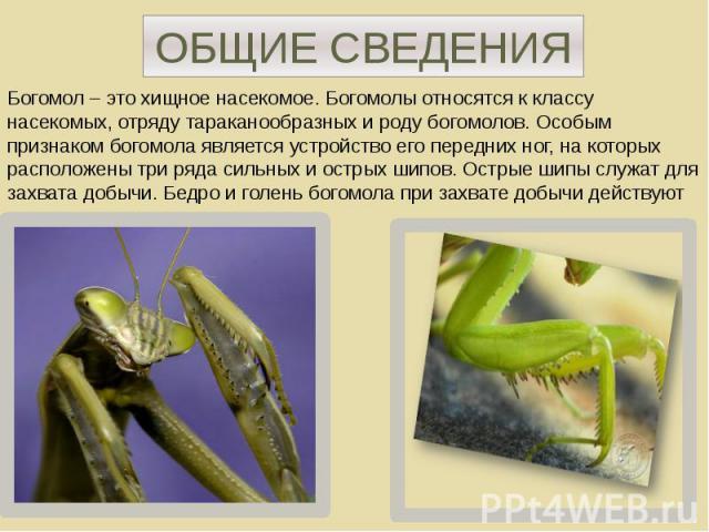 ОБЩИЕ СВЕДЕНИЯ Богомол – это хищное насекомое. Богомолы относятся к классу насекомых, отряду тараканообразных и роду богомолов. Особым признаком богомола является устройство его передних ног, на которых расположены три ряда сильных и острых шипов. О…