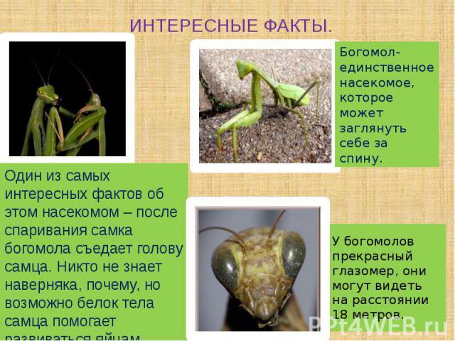 ИНТЕРЕСНЫЕ ФАКТЫ. Один из самых интересных фактов об этом насекомом – после спаривания самка богомола съедает голову самца. Никто не знает наверняка, почему, но возможно белок тела самца помогает развиваться яйцам.
