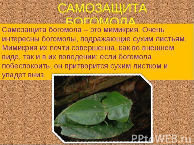 САМОЗАЩИТА БОГОМОЛА. Самозащита богомола – это мимикрия. Очень интересны богомолы, подражающие сухим листьям. Мимикрия их почти совершенна, как во внешнем виде, так и в их поведении: если богомола побеспокоить, он притворится сухим листком и упадет вниз.