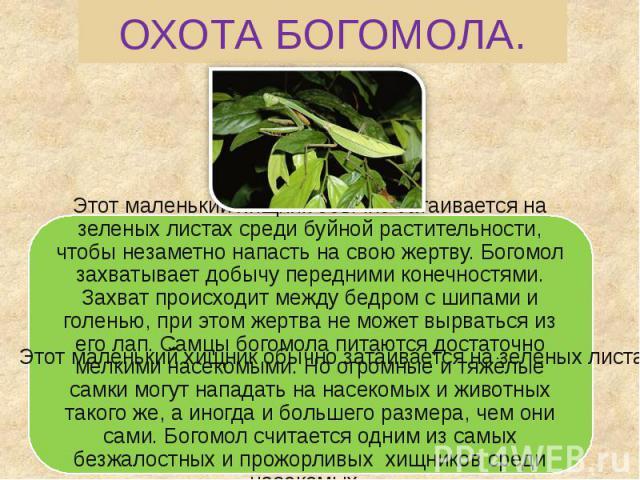 ОХОТА БОГОМОЛА. Этот маленький хищник обычно затаивается на зеленых листах среди буйной растительности, чтобы незаметно напасть на свою жертву. Богомол захватывает добычу передними конечностями. Захват происходит между бедром с шипами и голенью, при…