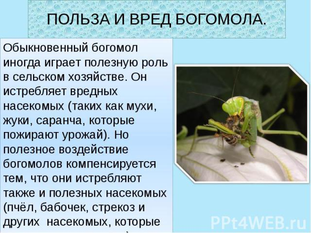 ПОЛЬЗА И ВРЕД БОГОМОЛА. Обыкновенный богомол иногда играет полезную роль в сельском хозяйстве. Он истребляет вредных насекомых (таких как мухи, жуки, саранча, которые пожирают урожай). Но полезное воздействие богомолов компенсируется тем, что они ис…