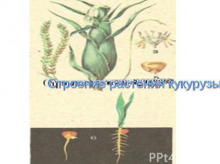 Строение растения кукурузы