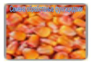Семена обработаные фунгицидами