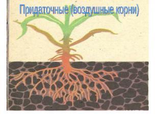 Придаточные (воздушные корни)