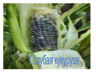 Голубая кукуруза