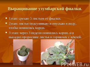Выращивание узумбарской фиалки.1этап: срезаю 5 листьев от фиалки.2этап: листья п