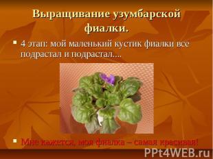 Выращивание узумбарской фиалки.4 этап: мой маленький кустик фиалки все подрастал