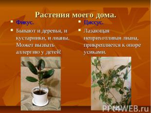 Растения моего дома.Фикус.Бывают и деревья, и кустарники, и лианы. Может вызвать