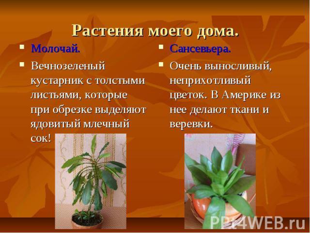 Растения моего дома.Молочай.Вечнозеленый кустарник с толстыми листьями, которые при обрезке выделяют ядовитый млечный сок!Сансевьера.Очень выносливый, неприхотливый цветок. В Америке из нее делают ткани и веревки.