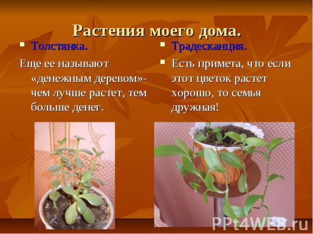 Растения моего дома.Толстянка.Еще ее называют «денежным деревом»- чем лучше растет, тем больше денег.Традесканция.Есть примета, что если этот цветок растет хорошо, то семья дружная!