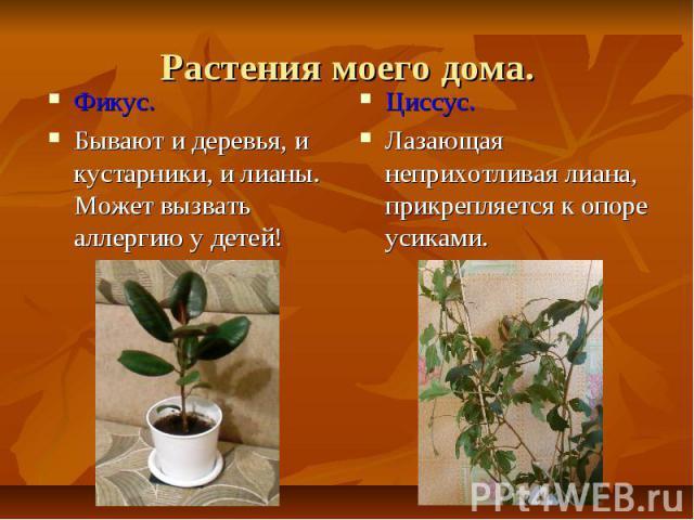 Растения моего дома.Фикус.Бывают и деревья, и кустарники, и лианы. Может вызвать аллергию у детей!Циссус.Лазающая неприхотливая лиана, прикрепляется к опоре усиками.