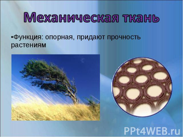 Механическая ткань Функция: опорная, придают прочность растениям