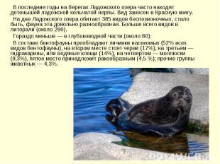 В последние годы на берегах Ладожского озера часто находят детенышей ладожской к