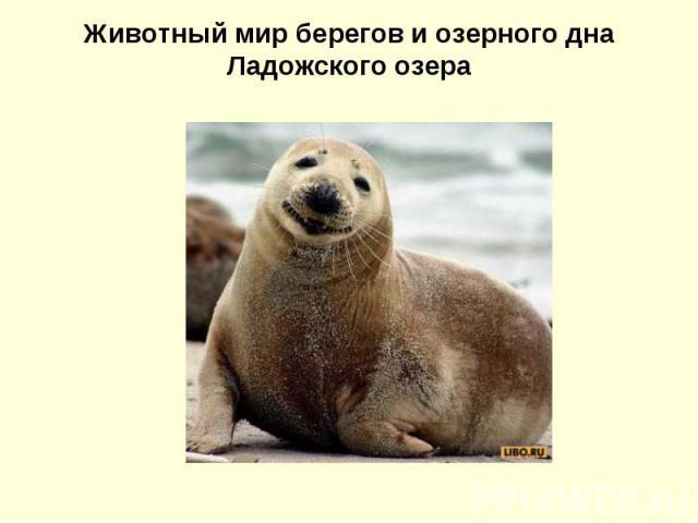 Животный мир берегов и озерного дна Ладожского озера