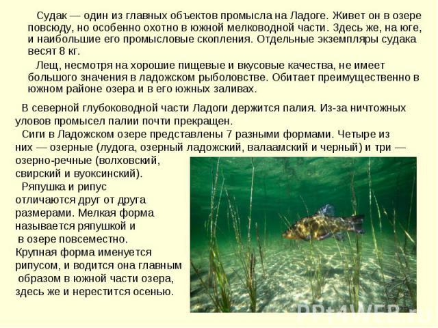 Судак — один из главных объектов промысла на Ладоге. Живет он в озере повсюду, но особенно охотно в южной мелководной части. Здесь же, на юге, и наибольшие его промысловые скопления. Отдельные экземпляры судака весят 8 кг. Лещ, несмотря на хорошие п…