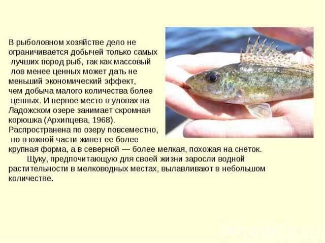 В рыболовном хозяйстве дело не ограничивается добычей только самых лучших пород рыб, так как массовый лов менее ценных может дать не меньший экономический эффект, чем добыча малого количества более ценных. И первое место в уловах на Ладожском озере …