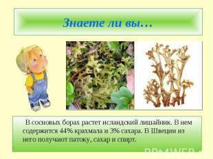 Знаете ли вы… В сосновых борах растет исландский лишайник. В нем содержится 44%