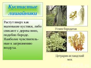 Кустистые лишайникиРастут вверх как маленькие кустики, либо свисают с дерева вни