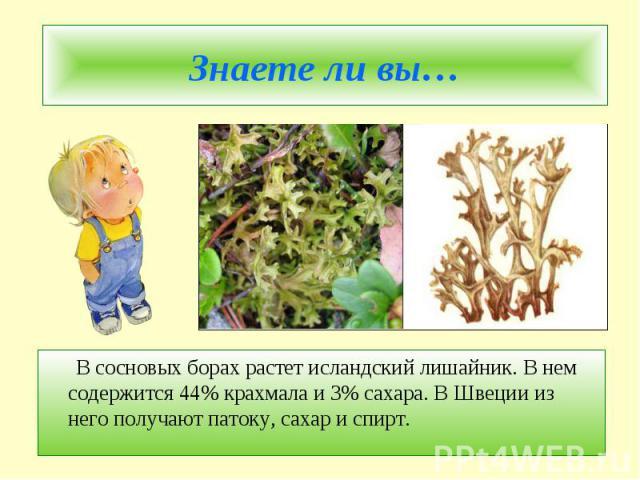 Знаете ли вы… В сосновых борах растет исландский лишайник. В нем содержится 44% крахмала и 3% сахара. В Швеции из него получают патоку, сахар и спирт.