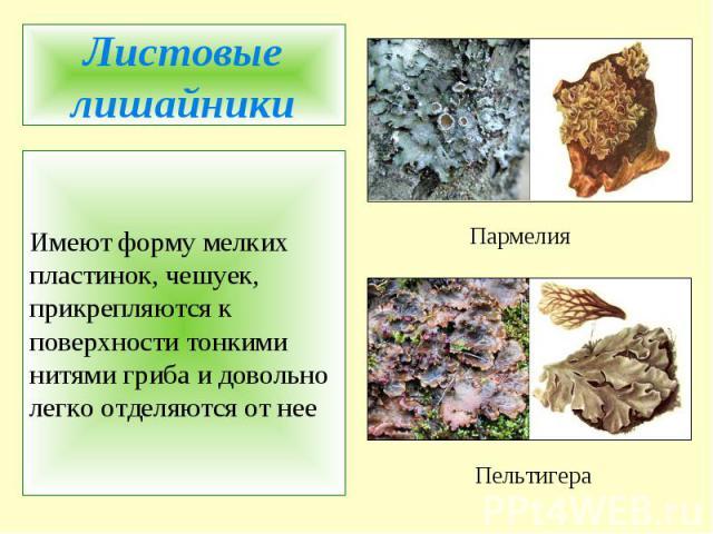 Листовые лишайникиИмеют форму мелких пластинок, чешуек, прикрепляются к поверхности тонкими нитями гриба и довольно легко отделяются от нее