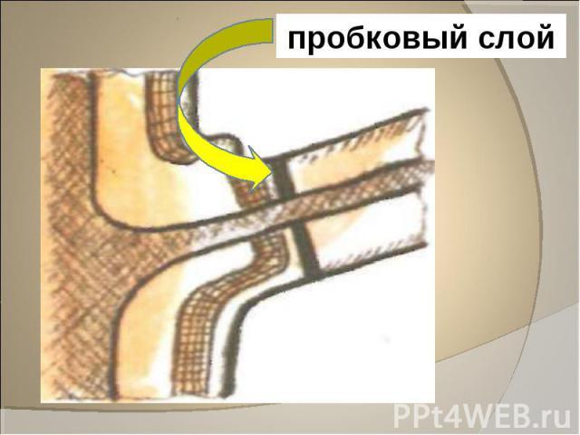 пробковый слой