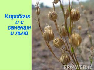 Коробочки с семенами льна