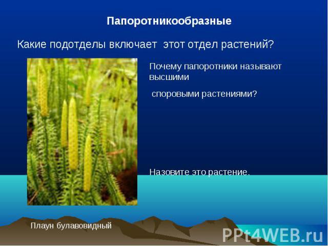 ПапоротникообразныеКакие подотделы включает этот отдел растений?Почему папоротники называют высшими споровыми растениями?Назовите это растение. Плаун булавовидный