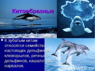 КитообразныеК зубатым китам относятся семейства настоящих дельфинов, клюворылов,