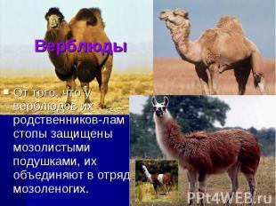 ВерблюдыОт того, что у верблюдов их родственников-лам стопы защищены мозолистыми