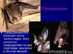 Рукокрылые Отряд рукокрылые включает почти тысячу видов. Всех рукокрылых подразд