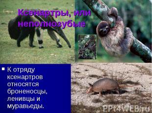 Ксенартры, или неполнозубые К отряду ксенартров относятся броненосцы, ленивцы и