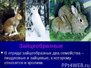 ЗайцеобразныеВ отряде зайцеобразных два семейства – пищуховые и зайцевые, к кото