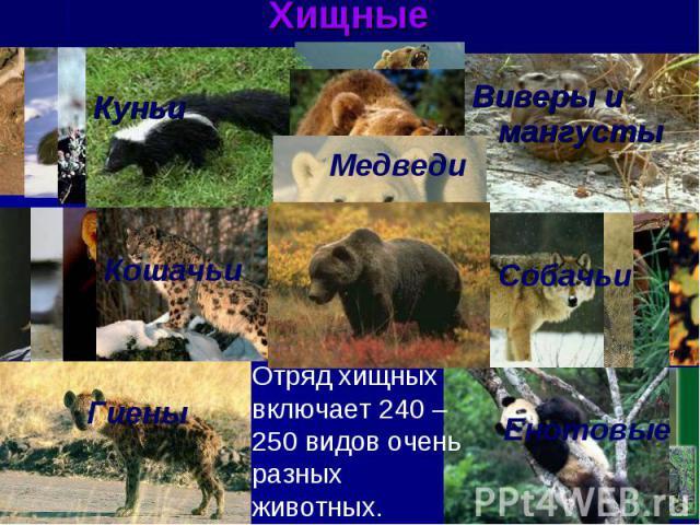 ХищныеКуньиВиверы и мангустыМедведиКошачьиГиеныСобачьиЕнотовыеОтряд хищных включает 240 – 250 видов очень разных животных.