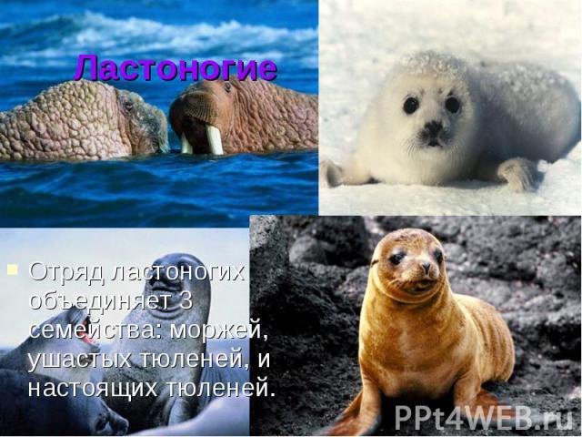 ЛастоногиеОтряд ластоногих объединяет 3 семейства: моржей, ушастых тюленей, и настоящих тюленей.