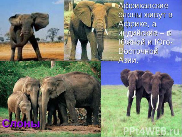 Африканские слоны живут в Африке, а индийские – в Южной и Юго-Восточной Азии.Слоны