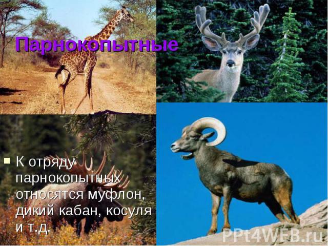ПарнокопытныеК отряду парнокопытных относятся муфлон, дикий кабан, косуля и т.д.