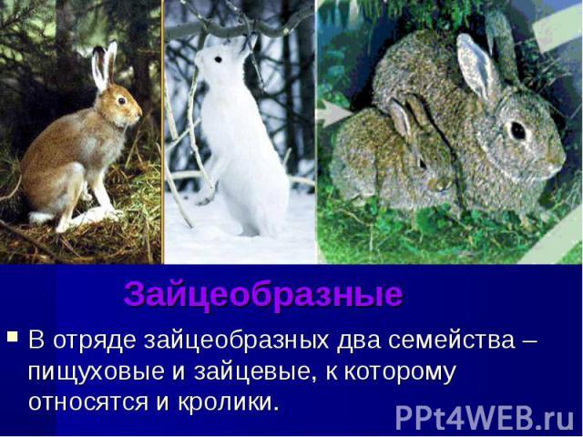ЗайцеобразныеВ отряде зайцеобразных два семейства – пищуховые и зайцевые, к которому относятся и кролики.