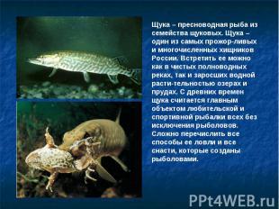 Щука – пресноводная рыба из семейства щуковых. Щука – один из самых прожор-ливых