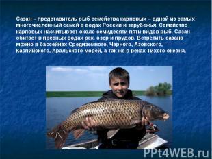 Сазан – представитель рыб семейства карповых – одной из самых многочисленный сем