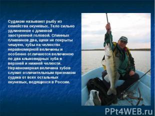 Судаком называют рыбу из семейства окуневых. Тело сильно удлиненное с длинной за