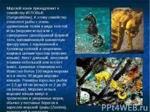 Морской конек принадлежит к семейству ИГЛОВЫЕ (Syngnathidae). К этому семейству