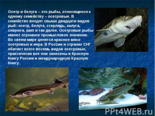Осетр и белуга – это рыбы, относящиеся к одному семейству – осетровые. В семейст