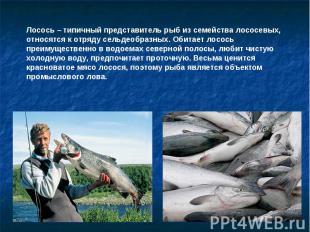 Лосось – типичный представитель рыб из семейства лососевых, относятся к отряду с