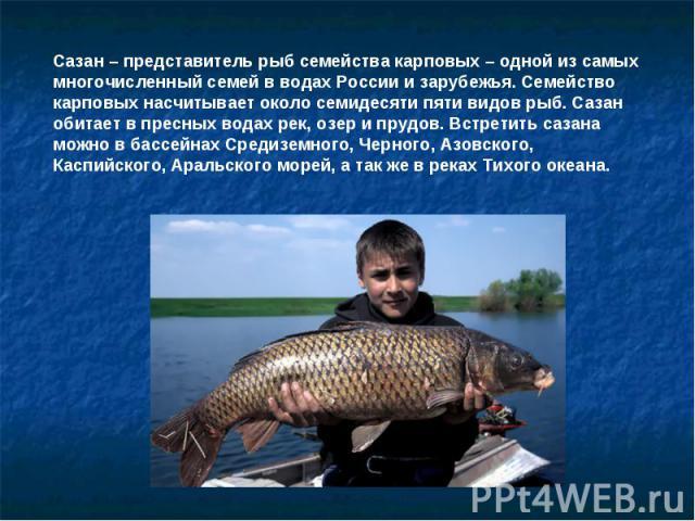 Сазан – представитель рыб семейства карповых – одной из самых многочисленный семей в водах России и зарубежья. Семейство карповых насчитывает около семидесяти пяти видов рыб. Сазан обитает в пресных водах рек, озер и прудов. Встретить сазана можно в…
