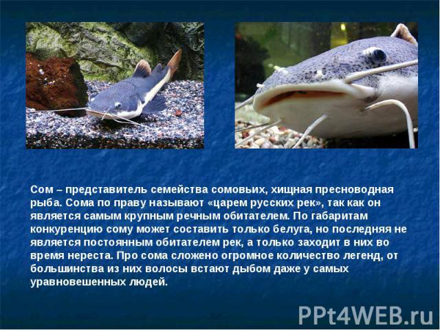 Сом – представитель семейства сомовьих, хищная пресноводная рыба. Сома по праву называют «царем русских рек», так как он является самым крупным речным обитателем. По габаритам конкуренцию сому может составить только белуга, но последняя не является …