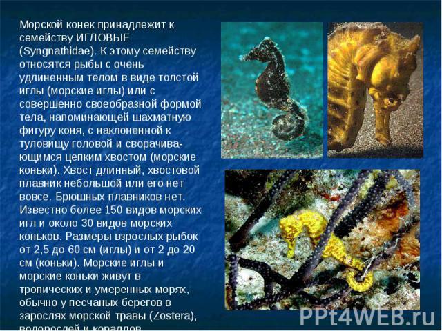 Морской конек принадлежит к семейству ИГЛОВЫЕ (Syngnathidae). К этому семейству относятся рыбы с очень удлиненным телом в виде толстой иглы (морские иглы) или с совершенно своеобразной формой тела, напоминающей шахматную фигуру коня, с наклоненной к…